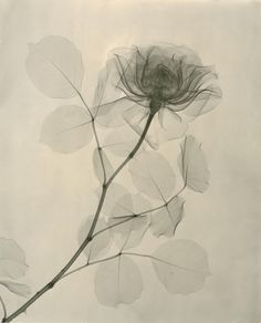 """Rose - Dr. Dain L. Tasker's x-ray images of flowers, 1930s - presented in a new exhibition titled """"Floral Studies,"""" at the Joseph Bellows Gallery in La Jolla, California."""
