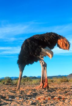 ostrich with head in the sand by colin thomas people in glass houses should not throw stones pinterest