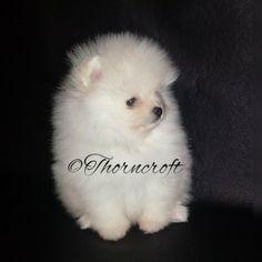 Thorncroft White Male puppy