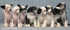 KOREKE - Chinese Crested Dogs in New Zealand