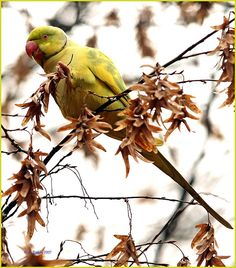 pied indian ringneck parrot