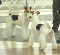 So fiesty, the Wire Fox Terrier is the only breed that is asked to 'spar' in the ring. Two males face off while carefully controlled by the handlers. They are judged on their aggression as well as conformation. (L)