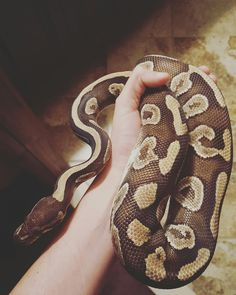 Mojo the Mojave ball python! He was my first ball and will always have a special spot. :) He finally hit the 1k+ gram mark thanks to ASF!