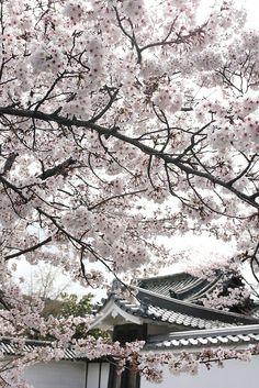 Somei-Yoshino Cherry by Teruhide Tomori, via Flickr
