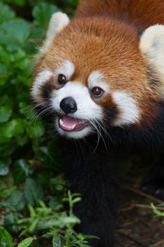And the sweetest smile on Earth. | 17 Reasons Red Pandas Are Earth-Shatteringly Cute