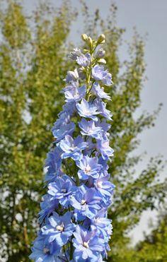 hohe Blüte