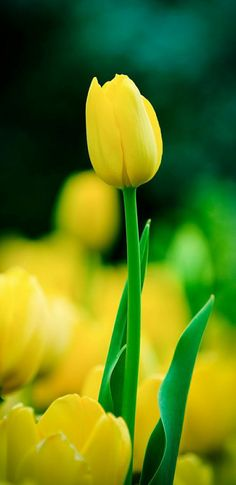 Tulips Garden, Tulips Flowers, Exotic Flowers, Daffodils, Pretty Flowers, Yellow Flowers, Planting Flowers, Good Morning Rose Images, Good Morning Roses