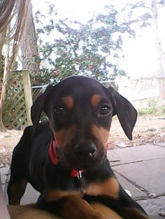 Chcha Doberman puppy