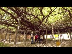 CBS Sunday Morning: Shady Lady: The world's largest rose bush