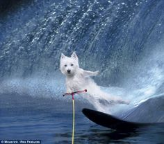 Twiggy the Waterskiing Squirrel  Americas Got Talent