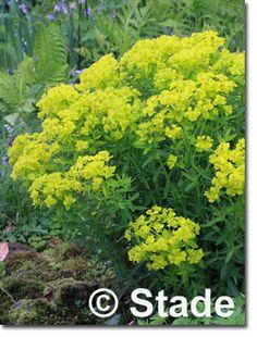 Euphorbia palustris 'Teichlaterne' (Sumpf-Wolfsmilch), 50 hoch, blüht 6 - 6