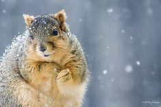 Oh dear two of my favourite things in this photo: Squirrels and Snow... I'm about to explode! Cute!