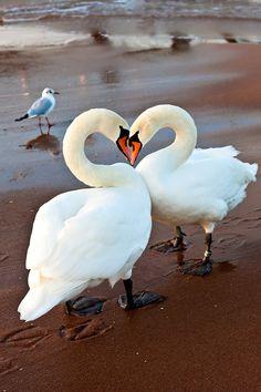 Gorgeous beautiful swan photo of birds. Swan Love, Beautiful Swan, Beautiful Birds, Animals Beautiful, Pretty Birds, Love Birds, Animals And Pets, Cute Animals, Cygnus Olor