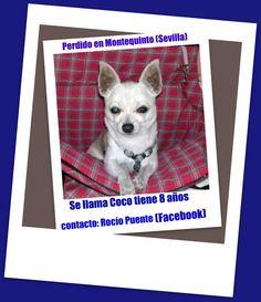 Robado el martes 21 de Febrero en Montequinto. Se alguien lo ve que se ponga en contacto conmigo por favor. Se llama Coco y tiene 8 años