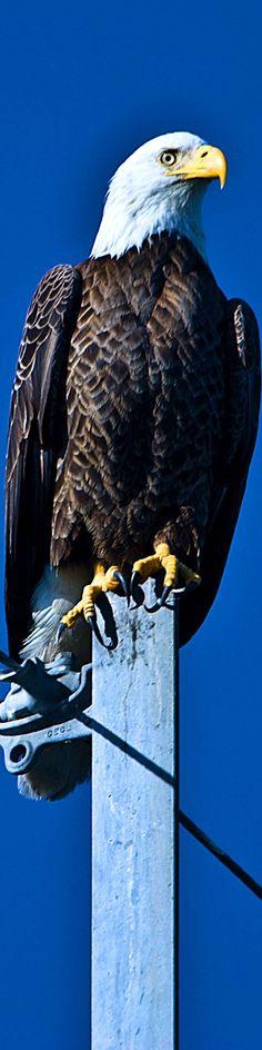 النسر ملك الطيور