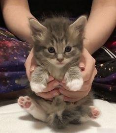 Kitten in Hands