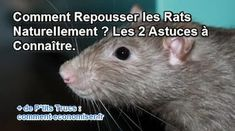 deux astuces naturelles pour chasser les rats Les Rats, Permaculture, Animals, Nature, Garden, Mouse Traps, Getting Rid Of Rats, Cleaning Walls, Organic Gardening Tips