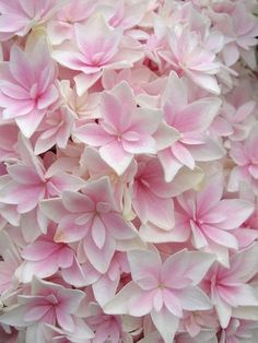 For the garden: Hydrangea 'Double Delights Freedom' - Elegant soft rose pink blossoms edged in cream are simply stunning against the lush dark green foliage of the shrub. This Hydrangea will bloom blue with cream in acidic soils.