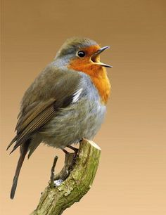 European robin (Erithacus rubecula) is announcing that Spring is here! Pretty Birds, Love Birds, Beautiful Birds, Animals Beautiful, Small Birds, Little Birds, Colorful Birds, Animals And Pets, Cute Animals