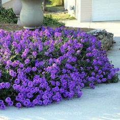 Moss Verbena (Verbena Tenuisecta) - Is there a place in your garden for these stunning ground cover plants? You will want Moss Verbena because it blooms all summer long with violet or pink flowers on Ground Cover Seeds, Ground Cover Plants, Verbena, Organic Gardening, Gardening Tips, Vegetable Gardening, Gardening Services, Indoor Gardening, Hydrangea Care