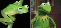 A newly-discovered species called Diane's Bare-hearted Glassfrog looks exactly like Kermit the Frog!