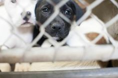 Beautiful lab mix puppy!! She's less than 4 months old! This shelter has an abundance of puppies all considered URGENT!! Please PM this group for fostering or adoption info! Or just go down and adopt these beauties!! Kennel A34.  https://www.facebook.com/speakingupforthosewhocant/photos/a.248402621850650.69312.248355401855372/754246114599629/?type=1&theater