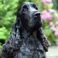 """Fantastic """"cocker spaniel dog"""" information is available on our web pages. Check it out and you will not be sorry you did. Blue Roan Cocker Spaniel, Cocker Spaniel Puppies, English Cocker Spaniel, Spaniel Breeds, Dog Breeds, Scottish Terrier, Cockerspaniel, Dog Information, Cockapoo"""