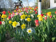 Daffodils_Tulips_-_May_2015_-_Erin_Morrissette__10_