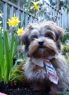 Mozart, The Easter Shorkie!
