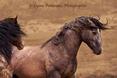 Utah wild horses. Photo by Lynne Pomeranz