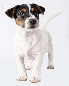 Jack Russell Terrier śliczne z rodowodem FCI Rzeniszów • OLX.pl