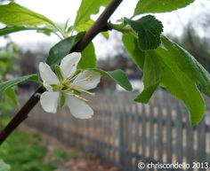 Planting herbs under fruit trees by Chris Conello