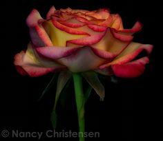 Floral portraits on black. Rose Sketch, Blooming Rose, Ap Art, Side View, Macro Photography, Sketchbooks, Childhood, Stress, Delicate