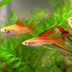 Types of Freshwater Aquarium Fish | freshwater fish types swordtails 500 x 500 188 kb jpeg courtesy of sv ...