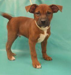Adam- American Bulldog mix - 2 months old -  Wright-Way Rescue - Morton Grove, IL. - http://wright-wayrescue.org/puppy-adoptions/ - https://www.facebook.com/WrightWayRescueAnimalShelter - http://www.petango.com/Adopt/Dog-Bulldog-American-24954147 - https://www.petfinder.com/petdetail/31451729/