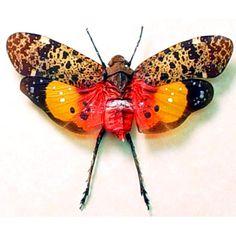 Penthicodes variegata – Orange Red Lantern Fly