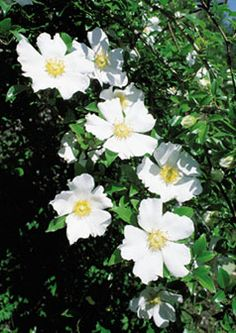Cherokee Rose from The Antique Rose Emporium. Description says this rose does not sucker unlike McCartney Rose with which it is often confused. Georgia Flower, Rosa China, Ronsard Rose, Cherokee Rose, Home Grown Vegetables, Rose Trees, Moon Garden, Flowers Perennials, Companion Planting