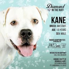 The Humane Society of Broward County and JR Dunn Jewelers have teamed up to waive the adoption fee for Kane (ID 569397) the American Bulldog this weeks Diamond in the Ruff. Kane was brought in by his family that he knew his entire life because they were moving and couldnt bring him along. He was loved greatly and it shows with his sweet disposition with people children and other dogs.  Hes only a year and seven months old so he is full of puppy energy and love  who could say no to such a…