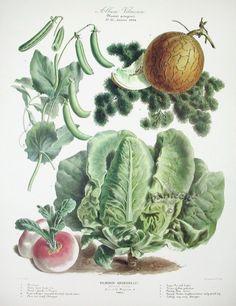 Vilmorin Vegetable Garden - Sugar pea, golden melon, parsley, Milan turnip, cabbage