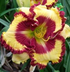Photo of Daylily (Hemerocallis 'Can't Touch This') uploaded by Ladylovingdove