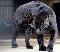 Black jaguars can produce both black and spotted cubs.