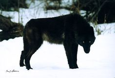 black wolves with green eyes - Google Search