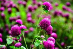 How to Grow Globe Amaranth for the Cut Flower Garden Flowering Cherry Tree, Cherry Blossom Tree, Blossom Trees, Growing Seeds, Growing Tree, Dried Flower Arrangements, Dried Flowers, Winter Pansies, Globe Amaranth
