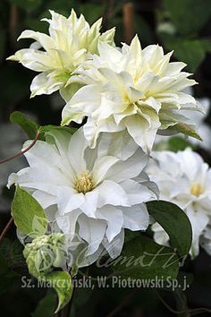 Learn how to prune and grow Clematis to produce big, beautiful flowers with this Clematis care guide that has all of the information you need. White Clematis, Clematis Plants, Clematis Flower, Clematis Vine, Exotic Flowers, White Flowers, Beautiful Flowers, Rare Flowers, Purple Flowers