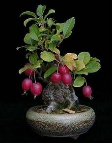 Growing bonsai from their seeds is essentially growing a tree from its seed. Get tips and guidelines on how to grow your first bonsai from its seed phase. Mame Bonsai, Ikebana, Plantas Bonsai, Bonsai Fruit Tree, Fruit Trees, Miniature Trees, Bonsai Garden, Growing Tree, Small Trees