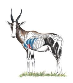 Blesbok Shot Placement Guide - Blesbok Hunting Tip: Male horns noticeably thicker and when viewed front-on, appear light in colour Africa Hunting, Boar Hunting, Hunting Tips, Hunting Stuff, Blue Wildebeest, Baboon, Animal Games, African Animals, Wildlife Art
