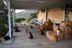 Dream job: A cat sanctuary is seeking a caretaker to live on a Greek island and look after its 55 cats Greek Island Tours, Greek Islands, Crazy Cat Lady, Crazy Cats, Benadryl For Cats, Frontline Plus For Cats, Cat Safe Plants, Photo Chat, Outdoor Cats