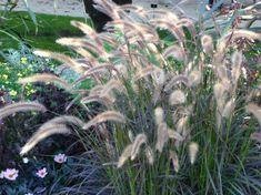 Herbe aux écouvillons (Pennisetum) sous le soleil, Jardin des Plantes, Paris 5e (75)