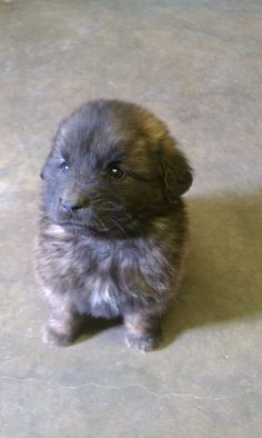 5 week old leonberger puppy :)