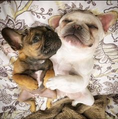 """""""It's NOT what you think!""""... """"we fell asleep like this"""", funny and upside Down French Bulldogs❤"""